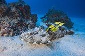 Malabar Grouper and Pilotfishes Palau Micronesia