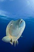 Humpback Wrasse Palau Micronesia