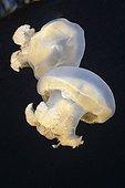 Mastigias Jellyfishes Jellyfish lake Palau Micronesia