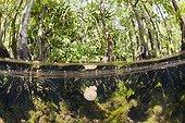 Mastigias Jellyfishes in mangrove Jellyfish lake Palau