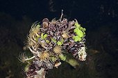 Mussels in Jellyfish Lake Palau Micronesia