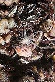 Anemone sit on Clams Jellyfish Lake Palau Micronesia ; the main predator of jellyfish in Jellyfish Lake