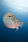 Chambered Nautilus Palau Micronesia