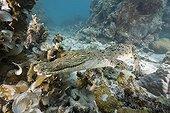 Saltwater Crocodile on Coral Reef Palau Micronesia