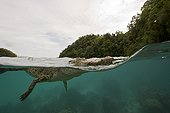 Saltwater Crocodile Palau Micronesia
