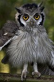 Young White-faced Scoops-Owl Cameroon