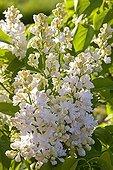 White Lilac 'Madame Lemoine' Provence France