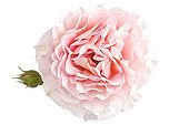 Pink rose and bud on white background