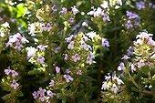Thym en fleur Provence France