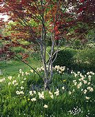 Narcissus around a Japanese maple 'Atropurpureum'