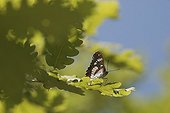 Southern White Admiral on Oak leaves Ardèche France