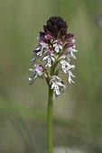 Burnt Orchid flowers Ardèche France