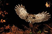 Tawny owl flying in forest Normandie France