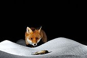 Red Fox and dead Finch in snow Normandie France