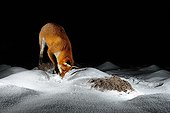 Red Fox digging snow Normandie France