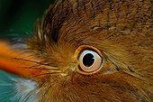 Eye of Collared Puffbird French Guiana