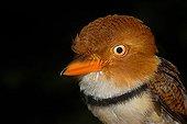Portrait of Collared Puffbird French Guiana