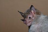 Portrait of Pale-face Bat Guiana