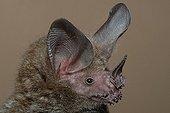 Portrait of Fringe-lipped Bat Guiana