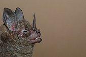 Portrait of Stripe-headed Round-eared Bat Guiana