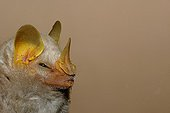 Portrait of McConnell's yellow-eared bat (Mesophylla macconnelli), Guiana