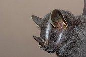 Portrait of Tent-Maiking Bat Guiana