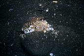 Coconut Octopus hides in coconut Lembeh strait Sulawesi