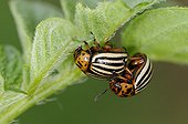 Mating of Colorado Potato Beetles under an Irish Potato leaf