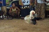 Combat de Coqs dans l'arène Bali Indonésie ; Les combats de coqs, interdits en Indonésie, profitent d'une tolérance sur<br>l'île de Bali. Le combat (tetadjen ou sabungan) a lieu dans une arène carrée<br>de 6 mètres de coté, dans un programme composé de 9 ou 10 matches (sehet). Une<br>dizaine d'hommes pénètrent dans l'arène. Chacun portant un coq et recherchant<br>un adversaire idéal. On attache à chaque coq son éperon (tadji) de 10 à 12 cm.<br>Leur fixation requiert un savoir faire particulier, celui des éperonniers peu<br>nombreux. Les combats sont régis par des règles minutieuses et ancestrales. Une fois un coup décisif porté, les coqs sont séparés.