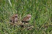Oisillons de Guifette noire dans l'herbe