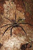 Nocturnal spider of Madagascar on the island of Nosy Mangabe