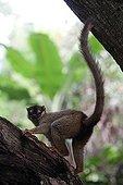 Common Brown Lemur on island Nosy Tanikely Madagascar