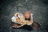 Coconut Octopus protected is eggs Lembeh strait Sulawesi