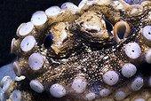 Portrait of Coconut Octopus Lembeh strait Sulawesi