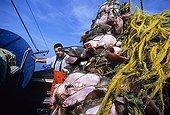 Chalutier au filet gorgé de poissons arrivant au port USA ; Aiguillats, limandes-plies rouges et morues sont pressés sous le poids de la prise. Ce port de pêche est le plus ancien des USA, il a bénéficié de la proximité d'eaux très poissonneuses.