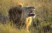 Flehmen de Lion Masaï Mara Kenya