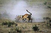 Cheetah catching an Impala Masai Mara Reserve Kenya