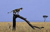 Cheetah on a trunk of dead tree Masai Mara Kenya
