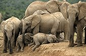 African Elephants help youngs at water place  Masai Mara