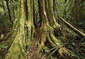 Racines aériennes et troncs en forêt primaire PN de Manu