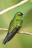 Garden Emerald male in Cartago province Costa Rica