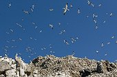 Colony of Northern Gannet in Seven Islands NR France