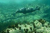 Grey Seal swimming underwater Seven Island France