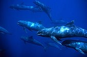 A tight group of Melon-headed Whale Marquises Archipelago