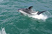 Peale's Dolphin surfing the wave Patagonia Argentina