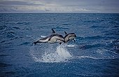 Dusky Dolphin are jumping over the waves South Island
