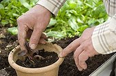 Repotting of a Fringed yellow-loosestrife 'Fire Craker'