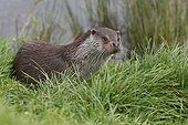 European Otter on a river bank Great Britain