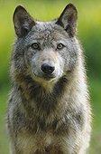 Gray Wolf watching Rhodes Zoological Garden Lorraine