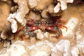 Young Red Legged swimming Crab Kimbe Bay Papua New Guinea